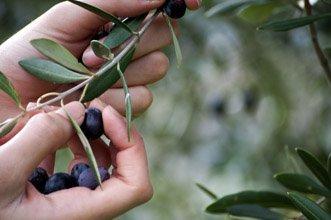 L'Olio ExtraVergine di Oliva e la Longevità della Famiglia Lupo