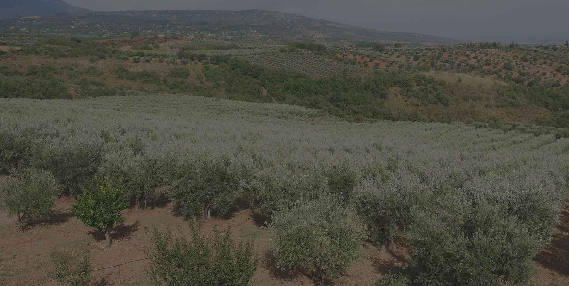 Vendita Olio Extravergine d'oliva Biologico, Olio EVO di Saracena, Olio Extravergine di Oliva Biologico