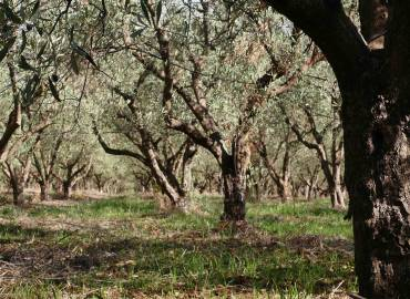 Olio ExtraVergine d'Oliva Biologico Calabrese